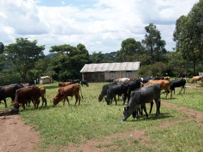 CATTLE IN THE SCHOOL FARM
